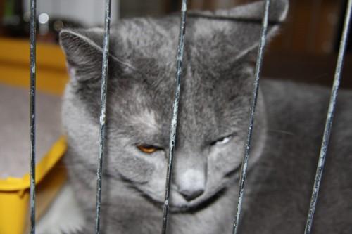 Mačja razstava Ljubljana - 8.2.2009 - foto
