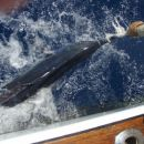 no bil je blue marlin, okoli 50kg