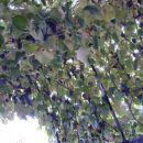 nase grozdje