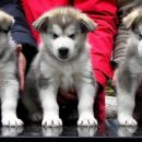 Puncke (starost 5 tednov: SIKARI THE LITTLE ONE, SIMBA SNOW QUEEN, SHEENA THE BRAVE. (od