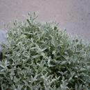 8. Cerastium tomentosum - smiljka nageljčki beli