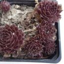 9.b Sempervivum