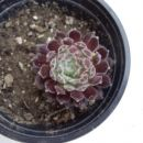 9.g Sempervivum