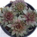 9.h Sempervivum