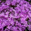 3. Phlox - Plamenka, floks (nizka, rožnata) sadika