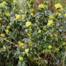 1. Mahonia  aquifolium - Mahonija sadika, vršički