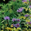 5.Centaurea - Glavinec sadika