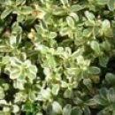 Sedum - Homulica (sadika)