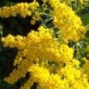 Solidago - zlata rozga (sadike)