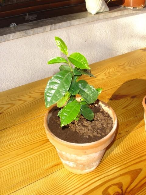 Zeleni čaj - foto