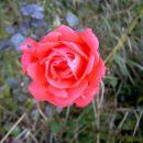Rosna vrtnica