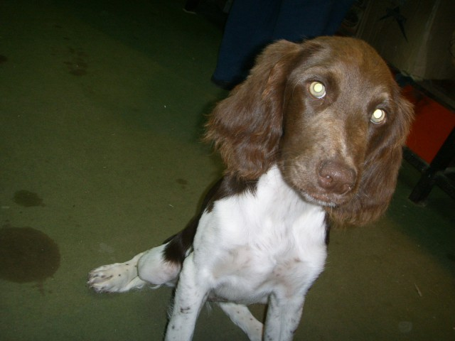 Dona, psička pasme Mali Munsterlander, skotena 29.5.2007, v kraju Sv. duh pri Škofji Loki.