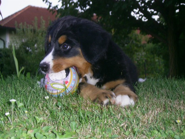 Moii pes - Bernski planšar - foto