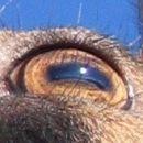 gamsovo oko