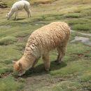 Alpaka je podobna žival kot Lama. Gojijo jih za prehrano in zelo cenjeno volno