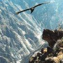 Kondorji so mrhovinarji, živijo v dolini Kolka(30) Večina ga še ni videla.
