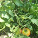 Mesnati paradižnik