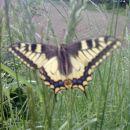 metuljček na travniku