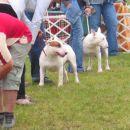 Interra terrier show