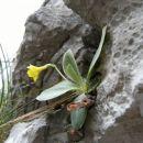 cvetoči avrikelj ( lepi jeglič ), ki je sicer Alpska rastlina v tem času cveti med strmim