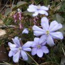 pomlad pa tudi na severni strani zaznamujejo prve cvetke...