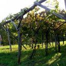vinograd ob cesti blizu Dutovelj na Krasu