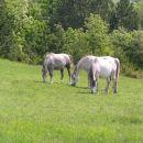 konji na paši ( Podgorski kras )