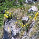 cvetoči avriklji ( lepi jeglič )