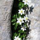 cvetje v skalni škraplji zakraselih pobočij na Pršivcu