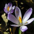 pomladanski žefran - cvetova v gozdu