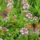 dva metulja na cvetju