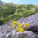 melišča v Kamniško - Savinjskih Alpah naseljuje tudi tale rumena cvetica - Karnerjev mah,