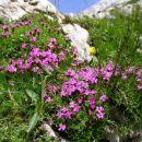 zaradi obilice dežja je letošnje poletje v visokogorju še posebej bogato z gorskim cvetjem