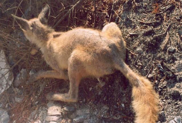 Garje na mladi lisici
