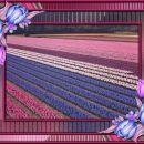 Grede tulipanov