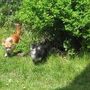 Še dva luštkana dolgodlaka čivavčka.  Za njima je pasji wc v obliki grma (pomemben podat