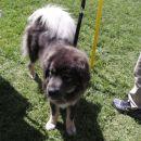 Evo ena Tibetanska mastifka. To je pasma, ki je bila pri meni na kandidaturi, ko sem izbir