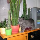 poziranje s kaktusi