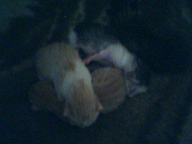 Mačkice stare 1 dan