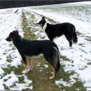 My 3 dogs - Border Collies