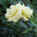 rumeni vrtnici
