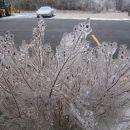 Grmicki so obdani z ledom in izgledajo grozno lepo...