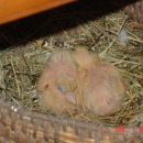 mladi golobčki