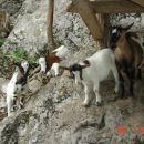 mini afriške koze