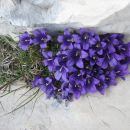 Cvetje v skalni razpoki.