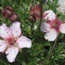 Triglavska roža.