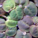 Limnobium laevigatum - južnoameriški šejek (3.11.2007)