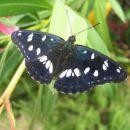 Makro metulj