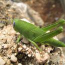 Zelena kobilica