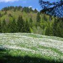 Narcise - Javorniški Rovt